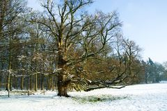 Old summer oak in snowy meadow stock image