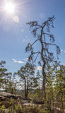 Old sun worshiper-tree in the high cliff in Finland Stock Images