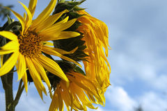 Old sunflower evening stock image