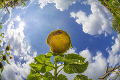 Old sunflower in a garden Stock Images