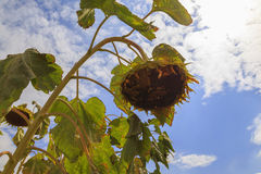 Old sunflower Stock Photography