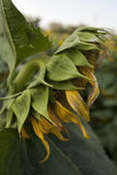 An Old Sunflower. The last days of the sunflower in the summer stock photos