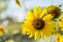 Old sunflower with petal and sunlight Stock Photography