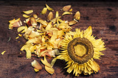 Old sunflower on wooden background Royalty Free Stock Images