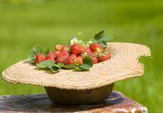 Old sunhat with strawberry in garden Stock Photography