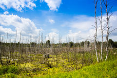 Old swamp with dead trees Stock Photos