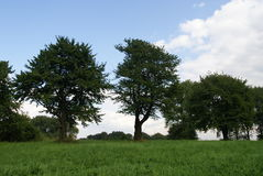 Old sweet cherry trees. An outdoor view across an open field to old sweet cherry trees Royalty Free Stock Photo