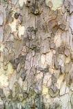 Old sycamore tree bark. Sycamore tree cracked bark of old Stock Photos