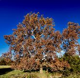 An Old Sycamore Tree. This is a Fal picture of an old Sycamore Tree again a blue sky located in Cooper a County, Missouri. This picture was taken on October 29 royalty free stock photography