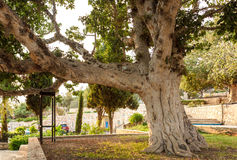 Old sycamore tree Stock Photo