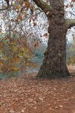 Old sycamore tree in misty autumn morning. In St. James Park of London royalty free stock photos