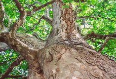 Old sycamore tree. Peeling trunk and massive branches of old sycamore tree royalty free stock photos