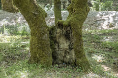 The old sycamore tree Royalty Free Stock Photos
