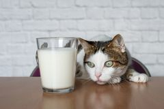 Old tabby cat looking curious to a cup of milk. royalty free stock photos