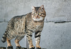 Old tabby cat menacing is on the fence in the village Royalty Free Stock Photos
