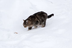Old tabby cat in snow. Old cat lurking on the snowy garden Stock Photography