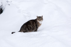 Old tabby cat in snow. Old cat lurking on the snowy garden Royalty Free Stock Photo