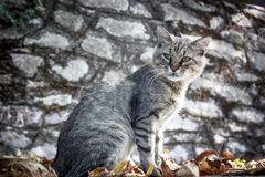 Old tabby grey  cat Royalty Free Stock Images