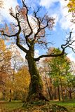 Old tall bare tree in a colorful autumn park Royalty Free Stock Images