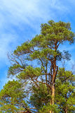 An old, tall, green pine tree with cones on a background of a vivid blue cloudy sky Royalty Free Stock Images