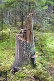 Old tall tree stump with fungus Stock Image