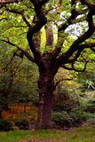 Old Tall Tree in the Woods Royalty Free Stock Photography