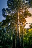 Old tall trees in Sintra royalty free stock image
