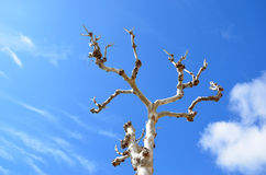 Old tall white tree and blue cloudy sky in summer. Photo Royalty Free Stock Photo
