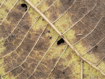 Old Teak Leaf Decay. The Old Teak Leaf Decay Royalty Free Stock Photos