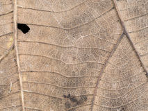 Old Teak Leaf Decay. The Old Teak Leaf Decay Royalty Free Stock Photo
