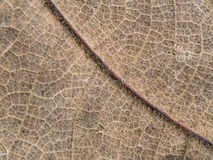 Old Teak Leaf Decay. The Old Teak Leaf Decay Stock Photography
