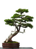 Old temple juniper as bonsai tree. White isolated old temple juniper as bonsai tree stock photos