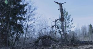 Old and terrible tree in the forest.  stock footage