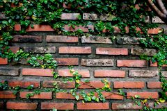 Old Texture brick wall, background. Detailed pattern covered in ivy royalty free stock photos
