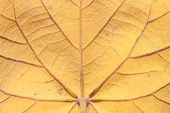 Old texture of leaf. The Old texture of leaf Royalty Free Stock Photography