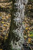 Old textured tree trunk with wrinkled beautiful bark against the background of fallen leaves of the autumn. Forest. Sunny day. Nature concept for design royalty free stock photos