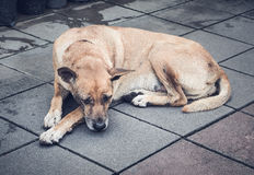 Old thai dog in a big city Stock Photos