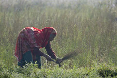 Old tharu woman working in fields in Nepal Stock Images