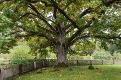 Old thick oak in the village Mikhailovskoe, Pushkinskiye Gory Stock Images