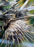 Old thistle spikes. Spiky Scottish thistle; macro photograph taken in Glencoe Stock Photography