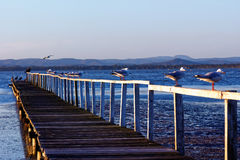 Old timber jetty with Silver gulls by twilight Royalty Free Stock Images