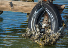Old Tire Covered with Barnacles. Tied to the dock in the water stock photos
