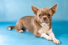 Old tired Cute Chihuahua Dog breed. Blue background stock photography