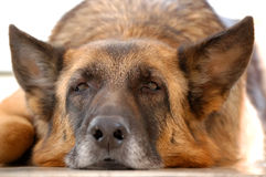 Old tired dog, German Shepherd,. Lying on a floor Royalty Free Stock Image
