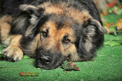 Old tired dog. German Shepherd mix dog lying   looking sad Royalty Free Stock Image