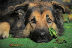 Old tired dog. German Shepherd mix dog lying   looking sad Stock Photos