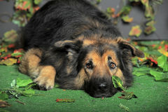 Old tired dog. German Shepherd mix dog lying   looking sad Royalty Free Stock Photography