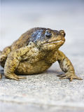 Old Toad Stock Photography