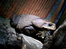 Old toad royalty free stock images