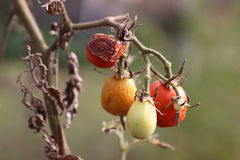 Old Tomatoes. Tomatoes left for dead in October Royalty Free Stock Photo
